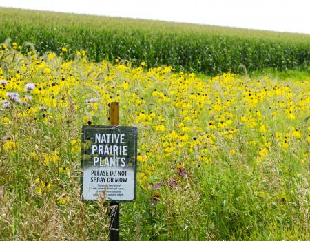 Prairie strips contour crops on the Van Dyke farmland