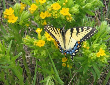 Tiger swallowtail on puccoon at at Holland Sand Prairie