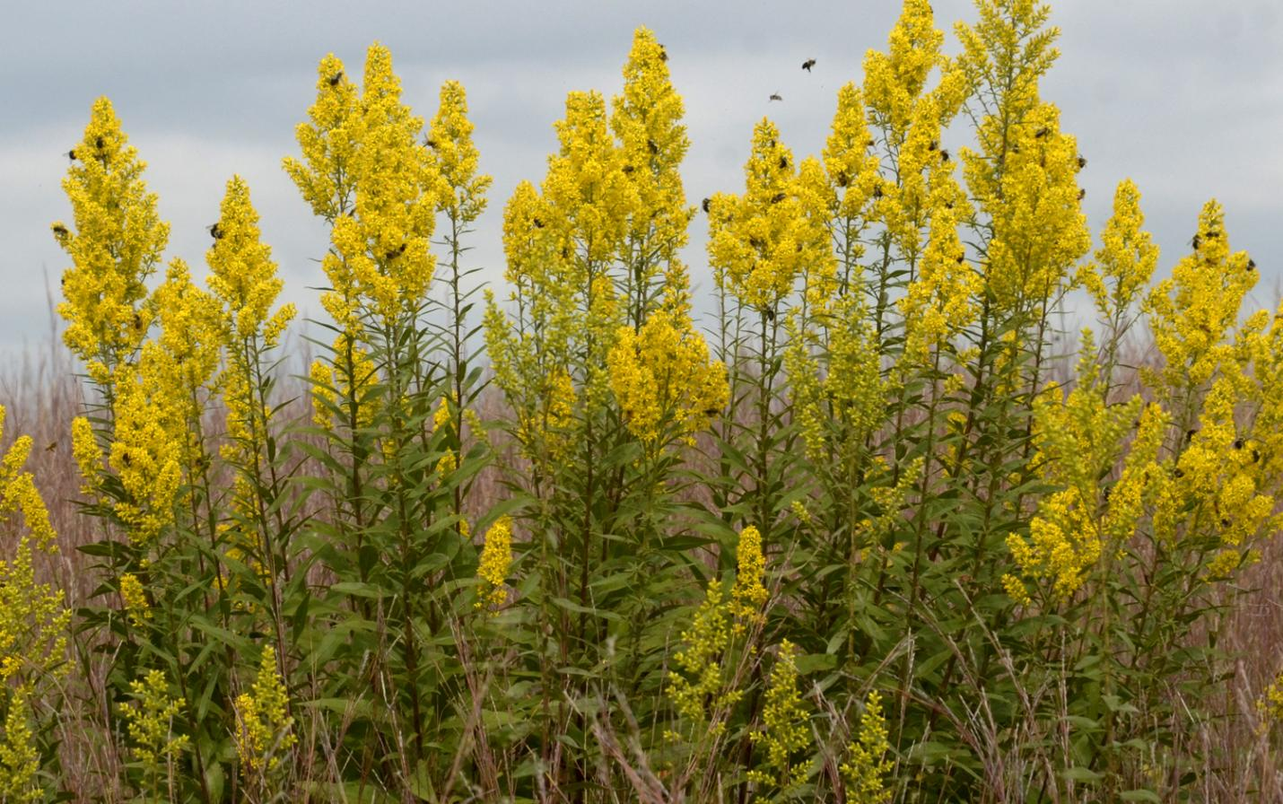 Showy goldenrod with bees. Photo by Tom Rhorer.