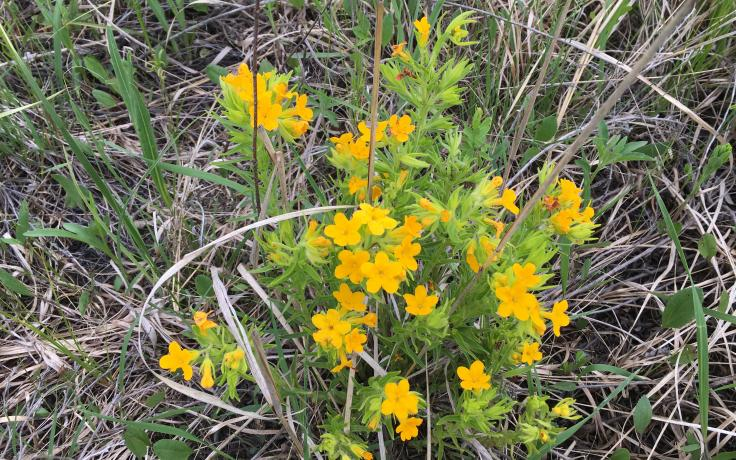 Carolina puccoon