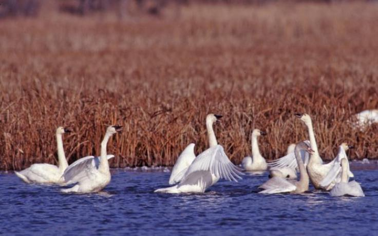 photo of tundra swans by A.B. Sheldon